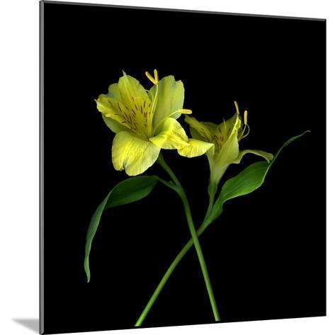 Alstroemeria 3-Magda Indigo-Mounted Photographic Print