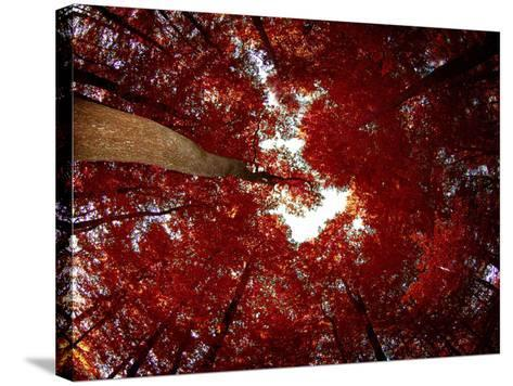 Red Fisheyes-Philippe Sainte-Laudy-Stretched Canvas Print