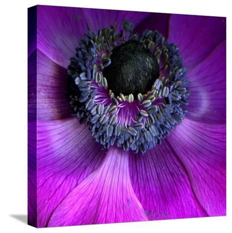Purple Anemones-Magda Indigo-Stretched Canvas Print