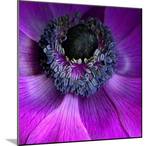Purple Anemones-Magda Indigo-Mounted Photographic Print