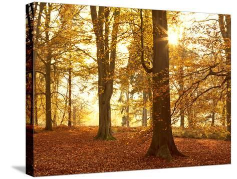 Autumn Glory-Doug Chinnery-Stretched Canvas Print