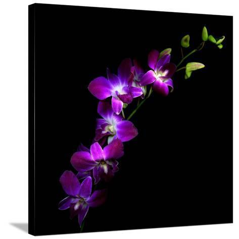 Purple Dendrobium Orchids-Magda Indigo-Stretched Canvas Print