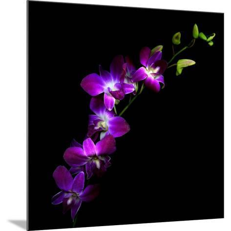 Purple Dendrobium Orchids-Magda Indigo-Mounted Photographic Print