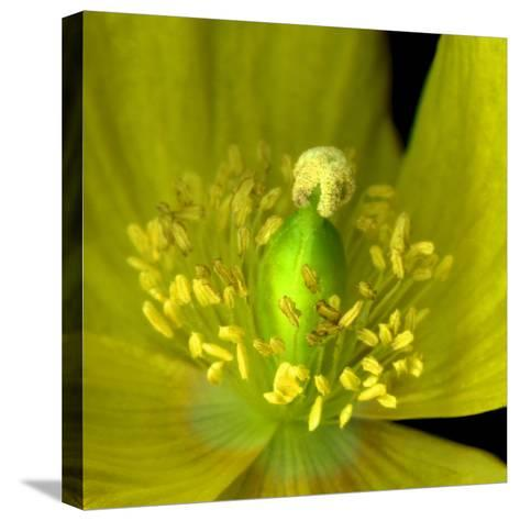 Poppy Yellow-Magda Indigo-Stretched Canvas Print