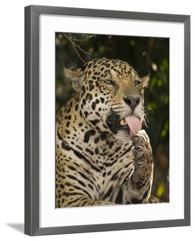 Jaguar (Panthera Onca) Licking its Paw, Three Brothers River, Meeting of the Waters State Park, ...--Framed Art Print