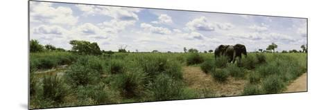 African Elephants (Loxodonta Africana) in a Field, Kruger National Park, South Africa--Mounted Photographic Print