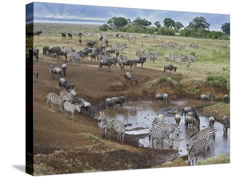 Zebras and Wildebeest at a Waterhole, Tanzania--Stretched Canvas Print