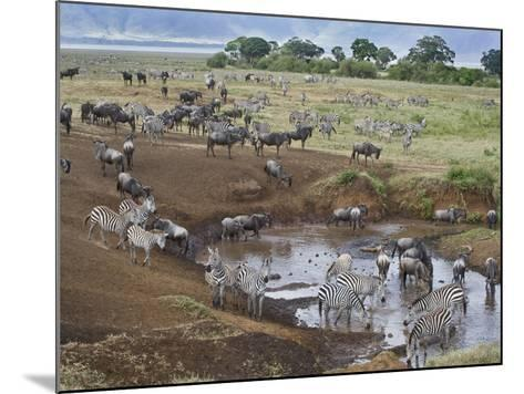 Zebras and Wildebeest at a Waterhole, Tanzania--Mounted Photographic Print
