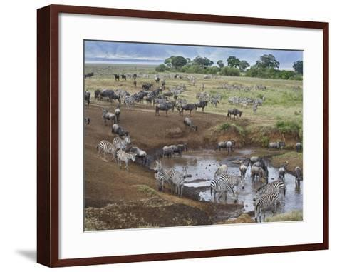Zebras and Wildebeest at a Waterhole, Tanzania--Framed Art Print