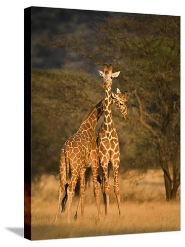 Two Reticulated Giraffes (Giraffa Camelopardalis Reticulata), Kenya--Stretched Canvas Print