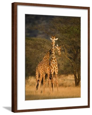 Two Reticulated Giraffes (Giraffa Camelopardalis Reticulata), Kenya--Framed Art Print