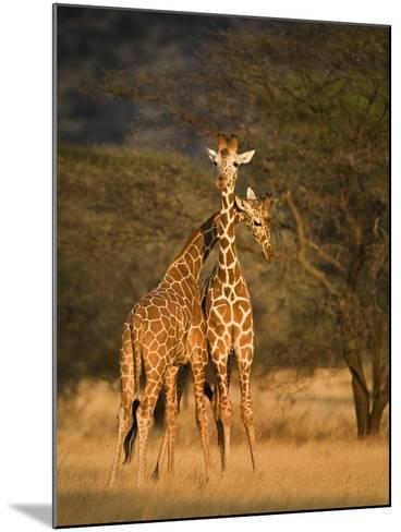 Two Reticulated Giraffes (Giraffa Camelopardalis Reticulata), Kenya--Mounted Photographic Print