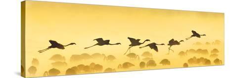 Flamingos Landing, Kenya--Stretched Canvas Print