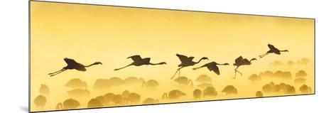 Flamingos Landing, Kenya--Mounted Photographic Print