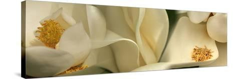 Magnolia Heaven Flowers--Stretched Canvas Print