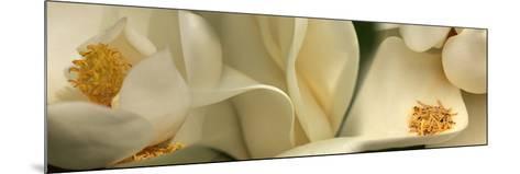 Magnolia Heaven Flowers--Mounted Photographic Print