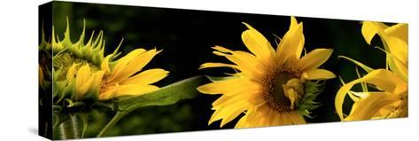 Sunflowers--Stretched Canvas Print