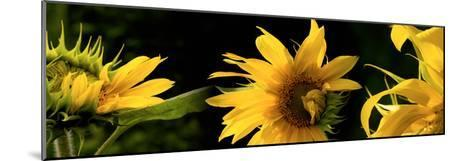 Sunflowers--Mounted Photographic Print
