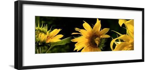 Sunflowers--Framed Art Print