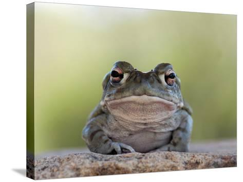 Portrait of a Sonoran Desert Toad, Bufo Alvarius-Kike Calvo-Stretched Canvas Print