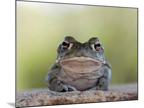 Portrait of a Sonoran Desert Toad, Bufo Alvarius-Kike Calvo-Mounted Photographic Print