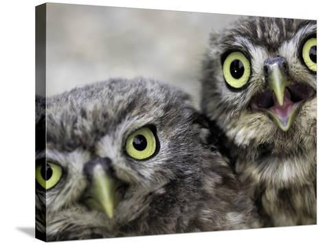 A Portrait of Two Little Owls, Athene Noctua-Kike Calvo-Stretched Canvas Print