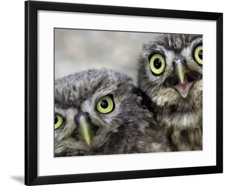 A Portrait of Two Little Owls, Athene Noctua-Kike Calvo-Framed Art Print