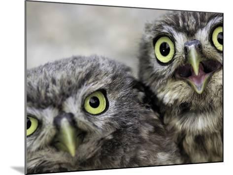 A Portrait of Two Little Owls, Athene Noctua-Kike Calvo-Mounted Photographic Print