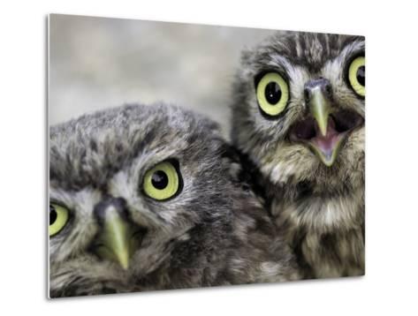 A Portrait of Two Little Owls, Athene Noctua-Kike Calvo-Metal Print