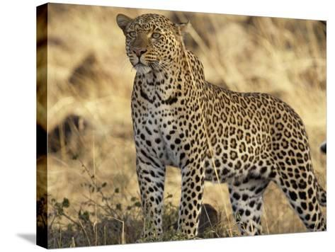 Portrait of a Leopard, Panthera Pardus-Norbert Rosing-Stretched Canvas Print