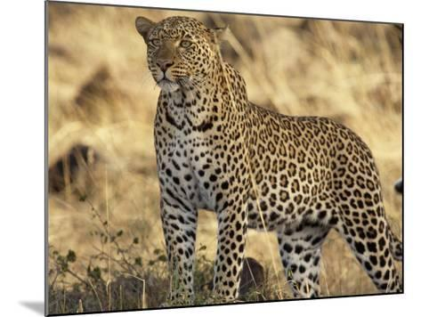 Portrait of a Leopard, Panthera Pardus-Norbert Rosing-Mounted Photographic Print