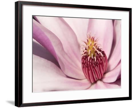 Close Up of a Pink Tulip Magnolia Flower, Magnolia Liliflora-Darlyne A^ Murawski-Framed Art Print
