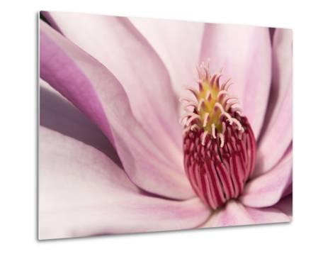 Close Up of a Pink Tulip Magnolia Flower, Magnolia Liliflora-Darlyne A^ Murawski-Metal Print