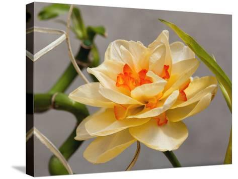 A Large Double Tahiti Daffodil, Narcissus Tahiti, in Spring-Darlyne A^ Murawski-Stretched Canvas Print