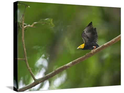 A Male Golden-Headed Manakin Moves its Wings Silently-Tim Laman-Stretched Canvas Print