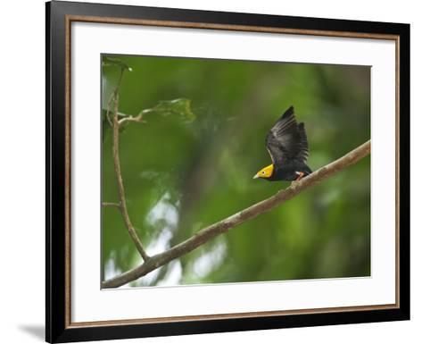 A Male Golden-Headed Manakin Moves its Wings Silently-Tim Laman-Framed Art Print