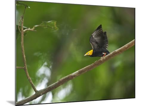 A Male Golden-Headed Manakin Moves its Wings Silently-Tim Laman-Mounted Photographic Print