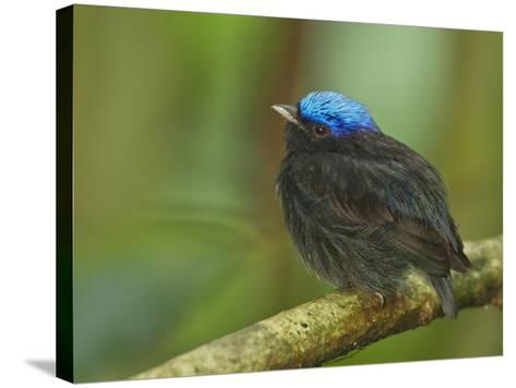 The Blue-Crowned Manakin Does Not Produce Any Wing Sounds-Tim Laman-Stretched Canvas Print
