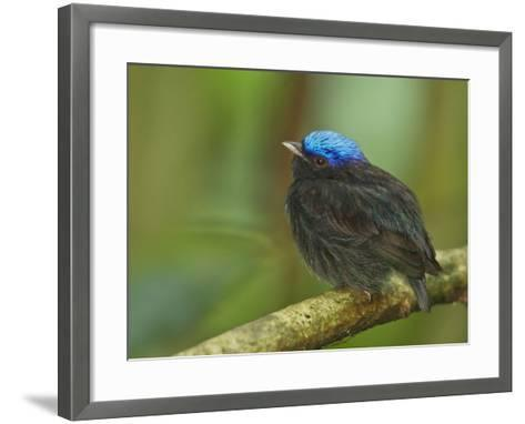 The Blue-Crowned Manakin Does Not Produce Any Wing Sounds-Tim Laman-Framed Art Print