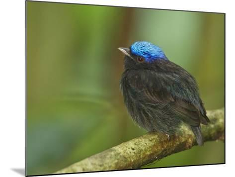 The Blue-Crowned Manakin Does Not Produce Any Wing Sounds-Tim Laman-Mounted Photographic Print