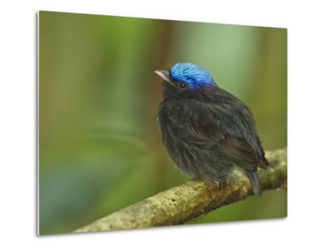 The Blue-Crowned Manakin Does Not Produce Any Wing Sounds-Tim Laman-Metal Print