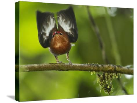 A Club-Winged Manakin Hits its Wings Together to Produce a Tone-Tim Laman-Stretched Canvas Print