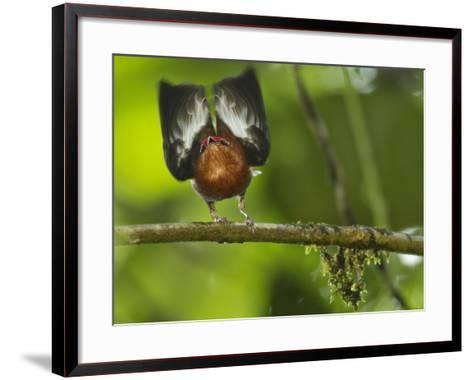 A Club-Winged Manakin Hits its Wings Together to Produce a Tone-Tim Laman-Framed Art Print