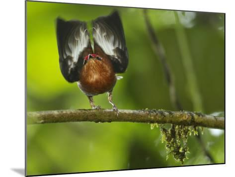 A Club-Winged Manakin Hits its Wings Together to Produce a Tone-Tim Laman-Mounted Photographic Print