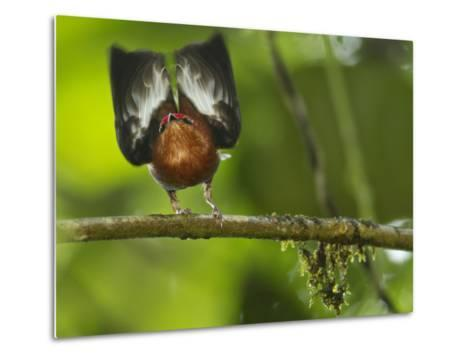 A Club-Winged Manakin Hits its Wings Together to Produce a Tone-Tim Laman-Metal Print