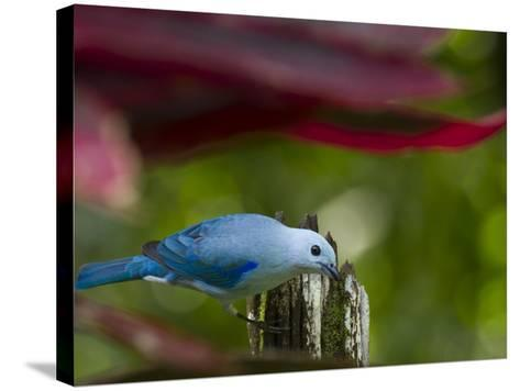 A Blue-Gray Tanager Pauses for a Photo in a Botanical Garden-Michael Melford-Stretched Canvas Print