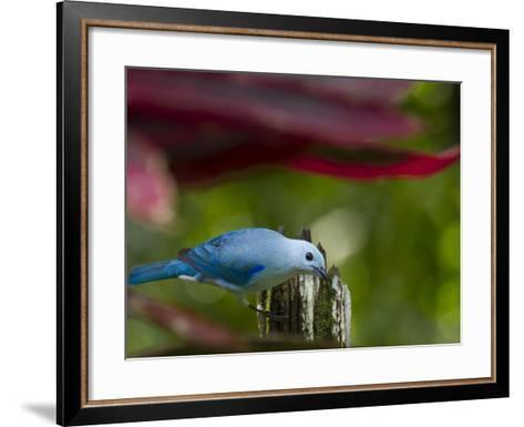A Blue-Gray Tanager Pauses for a Photo in a Botanical Garden-Michael Melford-Framed Art Print