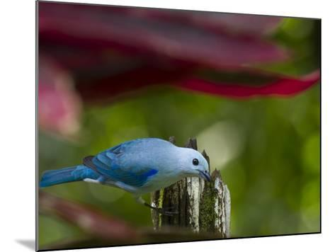 A Blue-Gray Tanager Pauses for a Photo in a Botanical Garden-Michael Melford-Mounted Photographic Print