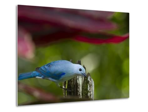 A Blue-Gray Tanager Pauses for a Photo in a Botanical Garden-Michael Melford-Metal Print
