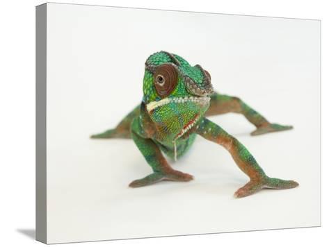 A Panther Chameleon, Furcifer Pardalis-Joel Sartore-Stretched Canvas Print